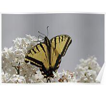 Western Tiger Swallowtail Macro Poster