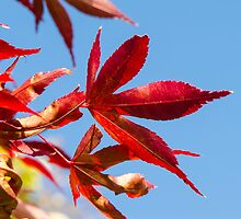 red leaves by Anne Scantlebury
