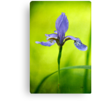 Blue Japanese iris Canvas Print
