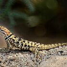 Female Desert Spiny Lizard  by Saija  Lehtonen