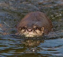 Asian Short-clawed otter (Aonyx cinerea) by alan tunnicliffe
