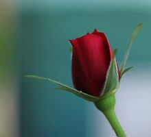 Single red rose by Photos - Pauline Wherrell