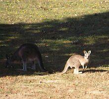 Kangaroos at Cardinia Reservoir Park, Victoria by SophiaDeLuna