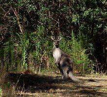 Kangaroo at Cardinia Reservoir Park, Victoria by SophiaDeLuna