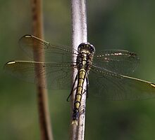Dragonfly at Cardinia Reservoir Park, Victoria by SophiaDeLuna