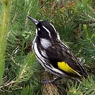 New Holland Honeyeater_Australian Garden by SophiaDeLuna