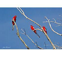 Crimson Rosella Photographic Print