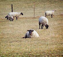 Sheep by James Brotherton