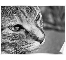 Cat in Black and White Poster