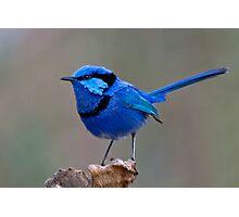 Splendid Blue Wren Photographic Print