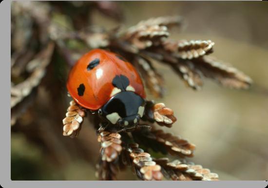 Ladybird by marens