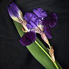 Purple Flags by missmoneypenny