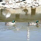 mallard duck at a duck pond by ack1128