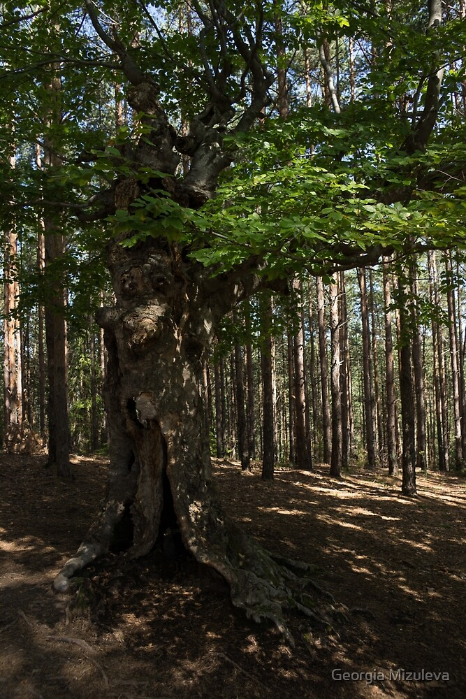 Trail Guardian - an Ancient Beech Tree in a Pine Forest by Georgia Mizuleva