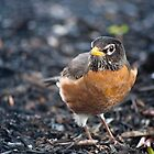 Small bird posing in the dirt by Philip Amoroso