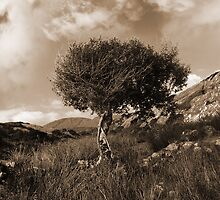 strong isolated mountain tree in sepia by morrbyte