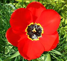 Red Tulip by Altronix