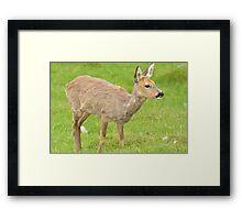 Roe Deer Framed Print