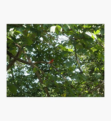 cardinal eating a Mulberry Photographic Print
