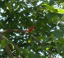 Cardinal Eating A mulberry by ack1128