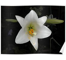 Easter Lilly Poster