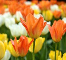 Tulips by Mihaela Limberea