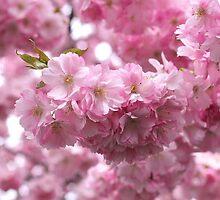Cherry Blossom, Kungsträdgården, Stockholm by Mihaela Limberea