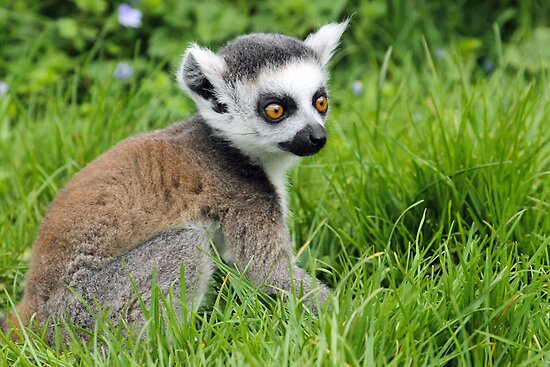 Baby Ring Tailed Lemur...