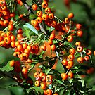 Fire THORN Berries  by Ruth Lambert