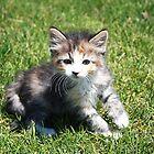 Hobbes the Kitten by Jewel Pfaffroth