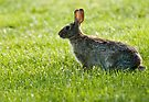Bunny Rabbit ~ Cotton Tail ~ Thumper ~ Easter Bunny ~ Rabbit by barnsis