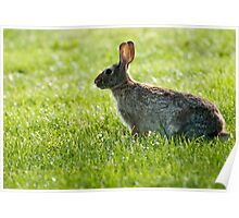 Bunny Rabbit ~ Cotton Tail ~ Thumper ~ Easter Bunny ~ Rabbit Poster