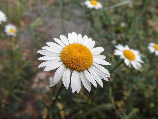 Daisy Flower by ack1128