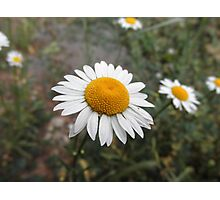 Daisy Flower Photographic Print