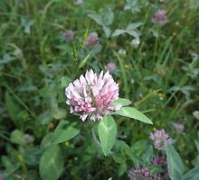 Red Clover by ack1128