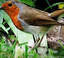 Rambling Robin  by J J  Everson