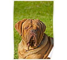Ruby - The Dogue de Bordeaux Poster
