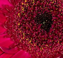 Ruby Red Gerbera - Kardinya W.A. by Sandra Chung