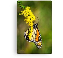 Monarch Butterfly on Goldenrod Canvas Print