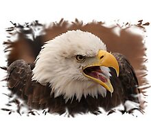 Bald Eagle framed. Photographic Print