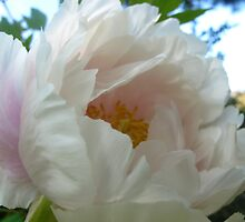 Pastel Peony by MarianBendeth