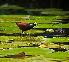 Jacana (Lily Trotter) by Dean Cunningham
