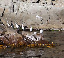 Beautiful Tasmania - cormorants on the rocks by georgieboy98