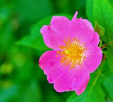 Texas Wildflower - Wild Rose by aprilann