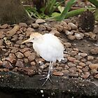 Cattle Egret by Malcolm  Taylor