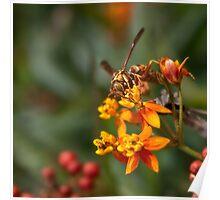 Wasp on milkweed Poster