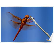 Male Flame Skimmer Dragonfly Poster