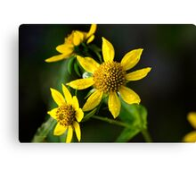 Nodding Bur Marigold Wildflowers Canvas Print