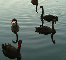 Black Swans  at Sunset by Ommik