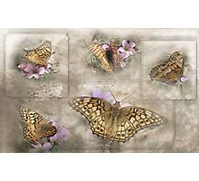 Variegated Fritillary ( Euptoieta Claudia) Days of May Photographic Print